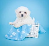 A B C Puppy. Little Malti-Poo puppy in a basket with a blue A B C blanket, on a blue background Stock Photography
