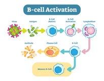 B-cell aktiveringsdiagram, vektorintrigillustration royaltyfri illustrationer