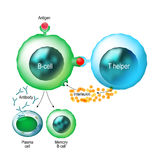 B-cell and T helper cells function. B-cell and T helper cells. Basic B-cells function: bind an antigen, receive help from a T helper cell, and differentiate Royalty Free Stock Image