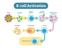 B-Cell activation diagram, vector scheme illustration. B cells, also known as B lymphocytes, are a type of white blood cell of the lymphocyte subtype. They Stock Photos