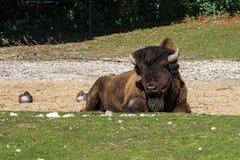 B?falo americano conhecido como o bisonte, bisonte do Bos no jardim zool?gico fotografia de stock