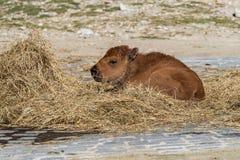 B?falo americano conocido como bisonte, bisonte del Bos en el parque zool?gico imagenes de archivo