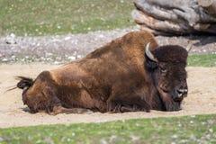 B?falo americano conocido como bisonte, bisonte del Bos en el parque zool?gico imágenes de archivo libres de regalías