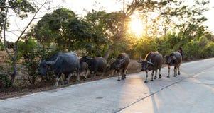 B?ffelherde in einem Landschaftsdorf, Thailand stockfotos