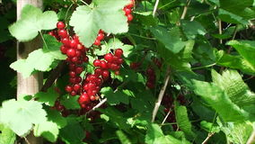 B the Garden among green leaves sway in the wind clusters of bright red currants. The summer ripening period twigs large, ripe red currant among the green stock video footage