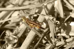 b-gräshoppa w Fotografering för Bildbyråer