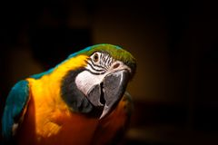 B??kitny i Z?ocisty ary papugi portret zdjęcia royalty free