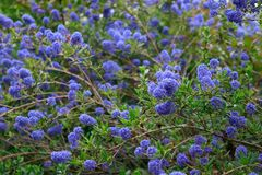 B??kitny indygowy kwiecisty t?o Kalifornia wiosny lily kwitnienie obrazy stock