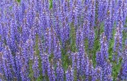 B??kitny sza?wii sza?wii farinacea kwitnie kwitnienie w ogr?dzie Fiołkowi mędrzec kwiaty Tło lili wildflowers zdjęcia stock