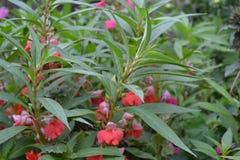 b?lsamo Balsaminaceae impatiens Macizo de flores de la casa Flores delicadas rosadas fotografía de archivo