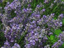 B?ndel dunkler violetter Lavendel, die Heilpflanze f?rdert Wundheilung, behandelt Hautkrankheiten und Entz?ndung stockfotografie