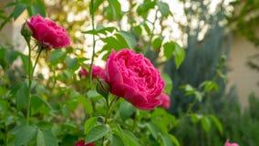 B?ndel rote Blumenblattrosen bl?hen auf gr?nen Bl?ttern auf unscharfem Hintergrund lizenzfreie stockfotos