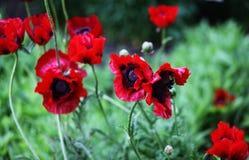 Błodzy kwiaty maczek Fotografia Stock