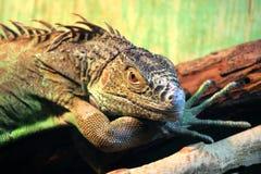 błonie zielona iguana Fotografia Royalty Free
