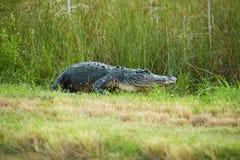 Błota aligator Obraz Royalty Free