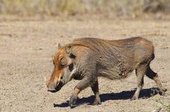 Błotnisty Warthog Zdjęcie Royalty Free