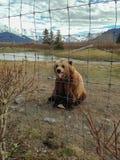 Bär, der heraus Zunge haftet stockbilder