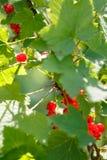 B?r f?r r?d vinb?r p? en buske i tr?dg?rden Redcurrant p? en filialn?rbild fotografering för bildbyråer