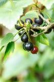 B?r f?r svart vinb?r p? en buske i tr?dg?rden Svart vinb?r p? en filialn?rbild fotografering för bildbyråer