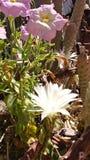 B?a? si? pi?kno kaktusa zdjęcie royalty free