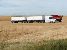B-Train Big Truck and Combine in Field. A white B-Train Tractor Trailer unit lined up to be loaded with grain by the red Combine that is getting into position Royalty Free Stock Images