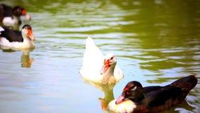 B u. w-Enten, die im Teich schwimmen Änderung des Fokus von stock video