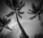 B & w棕榈 免版税图库摄影