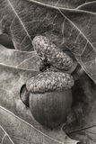 B&W of acorn on leaves. Royalty Free Stock Photos
