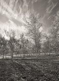 B&W of aspen trees. Stock Image