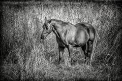 B&W of beautiful horse. Stock Photo