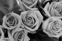B/W beautiful red roses as a background Stock Images