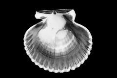 B&W of bivalve shell. Stock Image