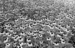 B&W of the blackeyed Susan royalty free stock image