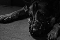 B&W BW Black and White Alone Sad Dog with Muzzle in Dog Shelter Miserable. Detail royalty free stock images