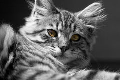 B&w cat. Cat with green eyes b&w stock photography