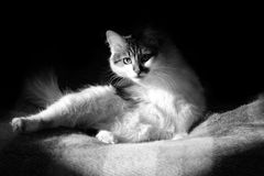 B&W Cat Royalty Free Stock Photos