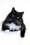 B/w cat Royalty Free Stock Photography