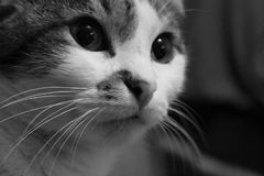 B/w cat. Cute black and white cat concentrated in something with his pupils dilated stock photos