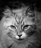 B&W Cat Portrait Stock Photography