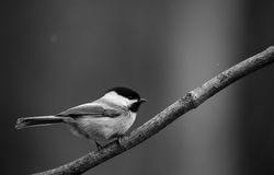 B&W Chickadee. Close-up black and white photo of a Black-capped Chickadee Stock Images