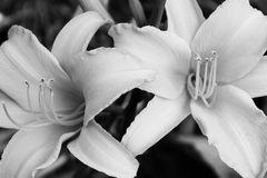 B&W Day Lilies Stock Photos