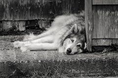B&W del perro que pone en el hormigón Fotografía de archivo