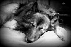B&W des belgischen Schäfers Dog Sleeping Stockfotografie