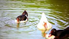 B & w ducks swimming in pond. change of focus from. One to the other ducks. Video 1920*1080 stock video