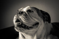 B&W English Bulldog Royalty Free Stock Photo