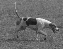 B&W English pointer hunting dog. English pointer hunting dog searching with excitement Royalty Free Stock Photo