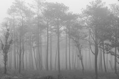 B&W forest. Pine forest in Black and White Royalty Free Stock Images