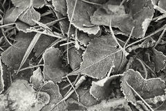 B&W of frosty leaves. Royalty Free Stock Photos