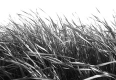 B/W Grass against White Royalty Free Stock Images