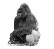 A b&w image of a silverback lowland gorilla. A black and white image of a male silverback western lowland gorilla isolated on white royalty free stock photo